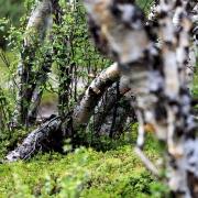 Fjällbirkenwald im Abisko Nationalpark