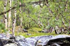 Fjällbirkenwald im Abisko Nationalpark,©Markus Proske—Canon EOS 5D Mark II, EF70-300mm f/4-5.6L IS USM, 300mm, 1/125s, Blende 5.6, ISO 200