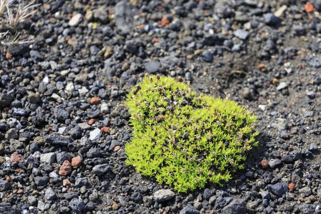 Vegetation in der Lavawüste,©Markus Proske—Canon EOS 5D Mark IV, EF70-300mm f/4-5.6L IS USM, 207mm, 1/640s, Blende 5.6, ISO 400