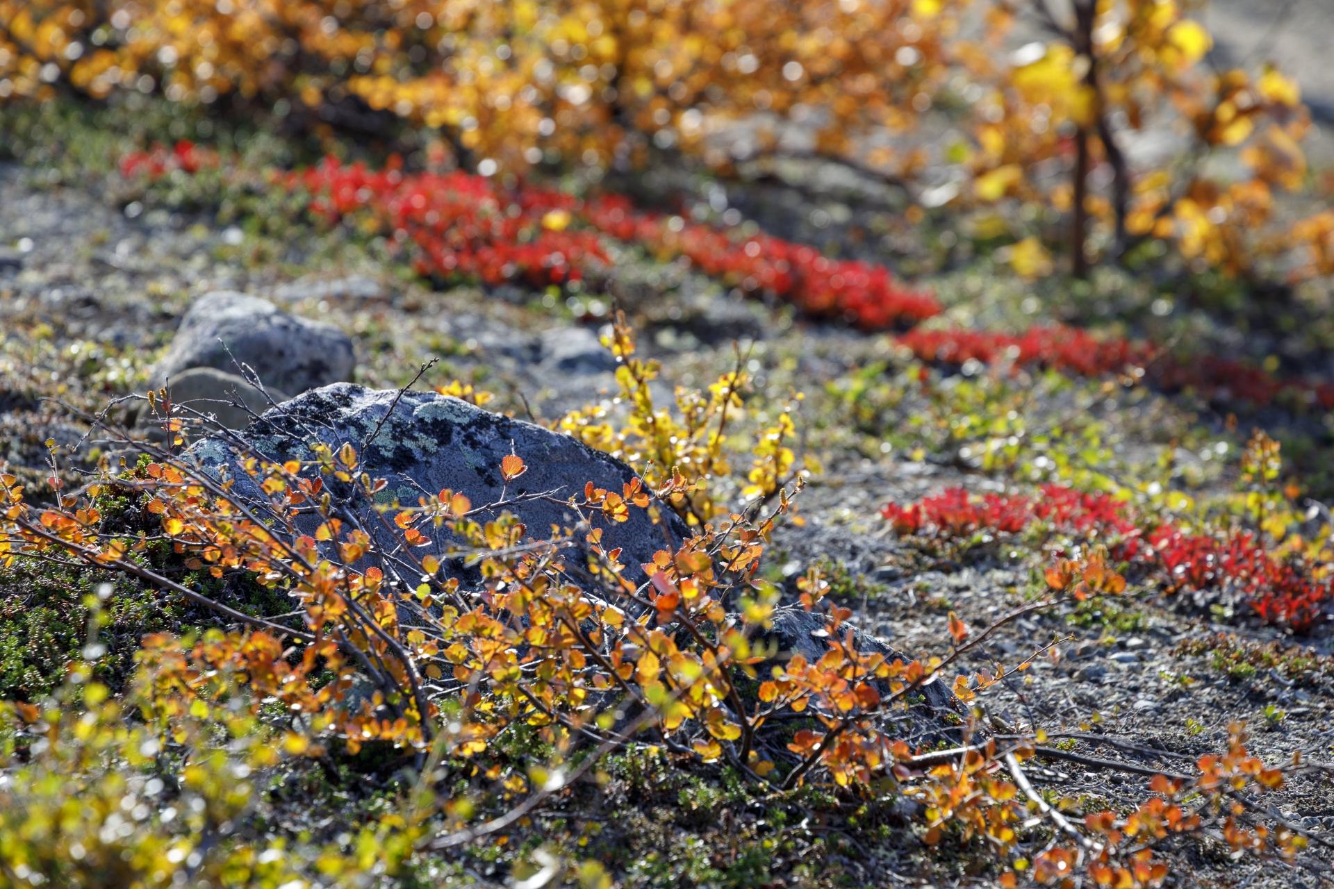Herbstfarben im Fjäll
