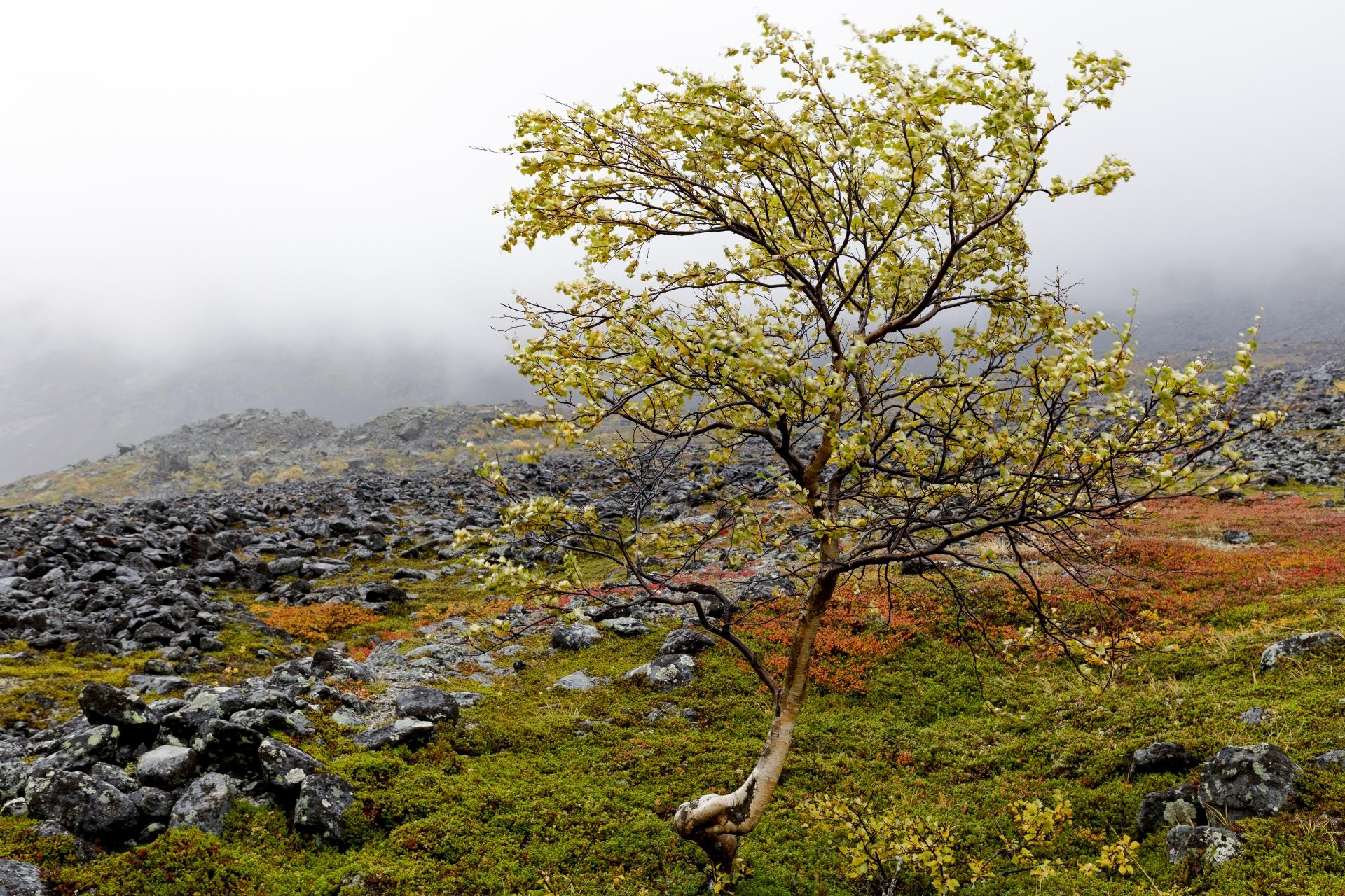 Fjällbjörken/Visttasvággi