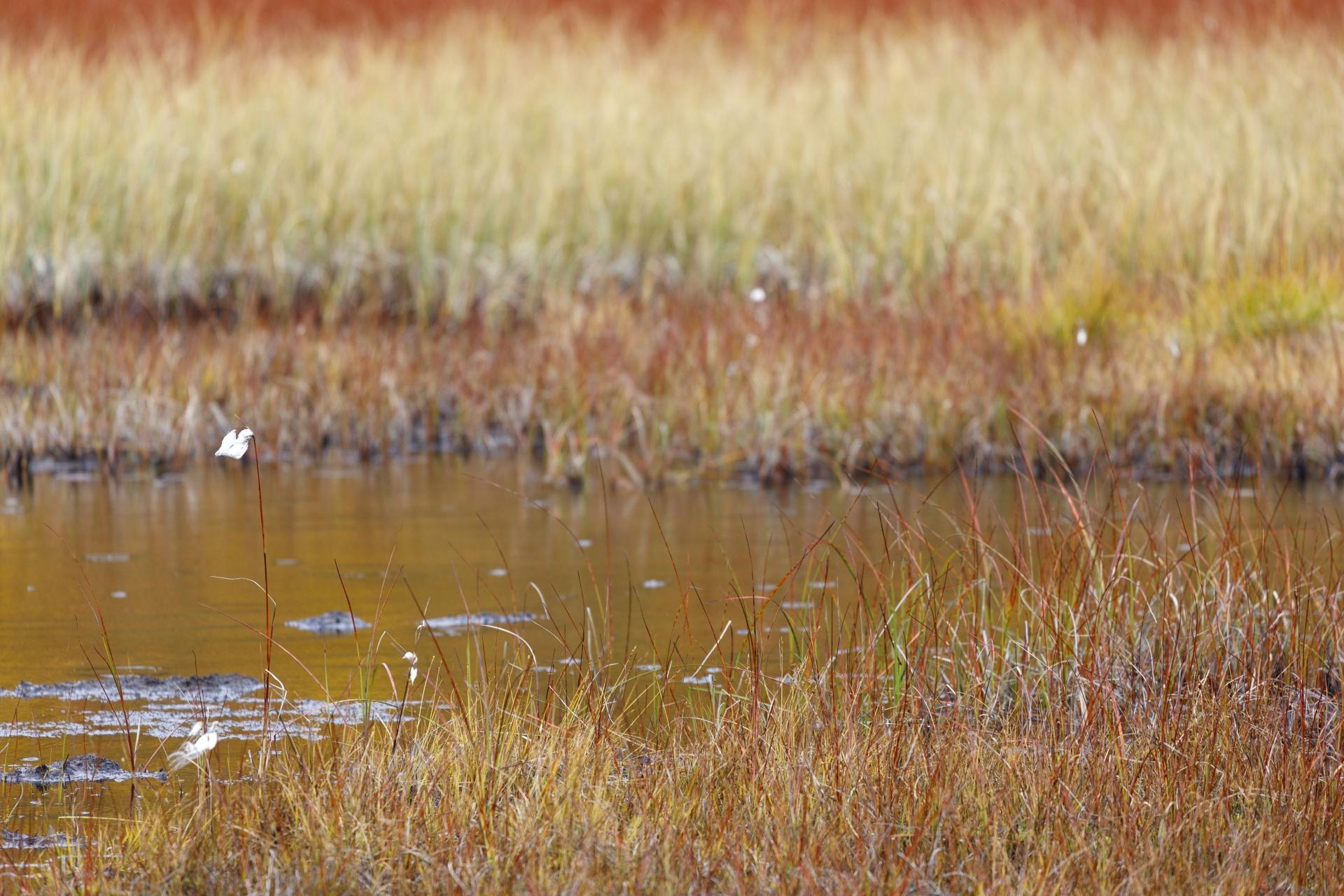 Schmalblättriges Wollgras (Eriophorum angustifolium Honck)