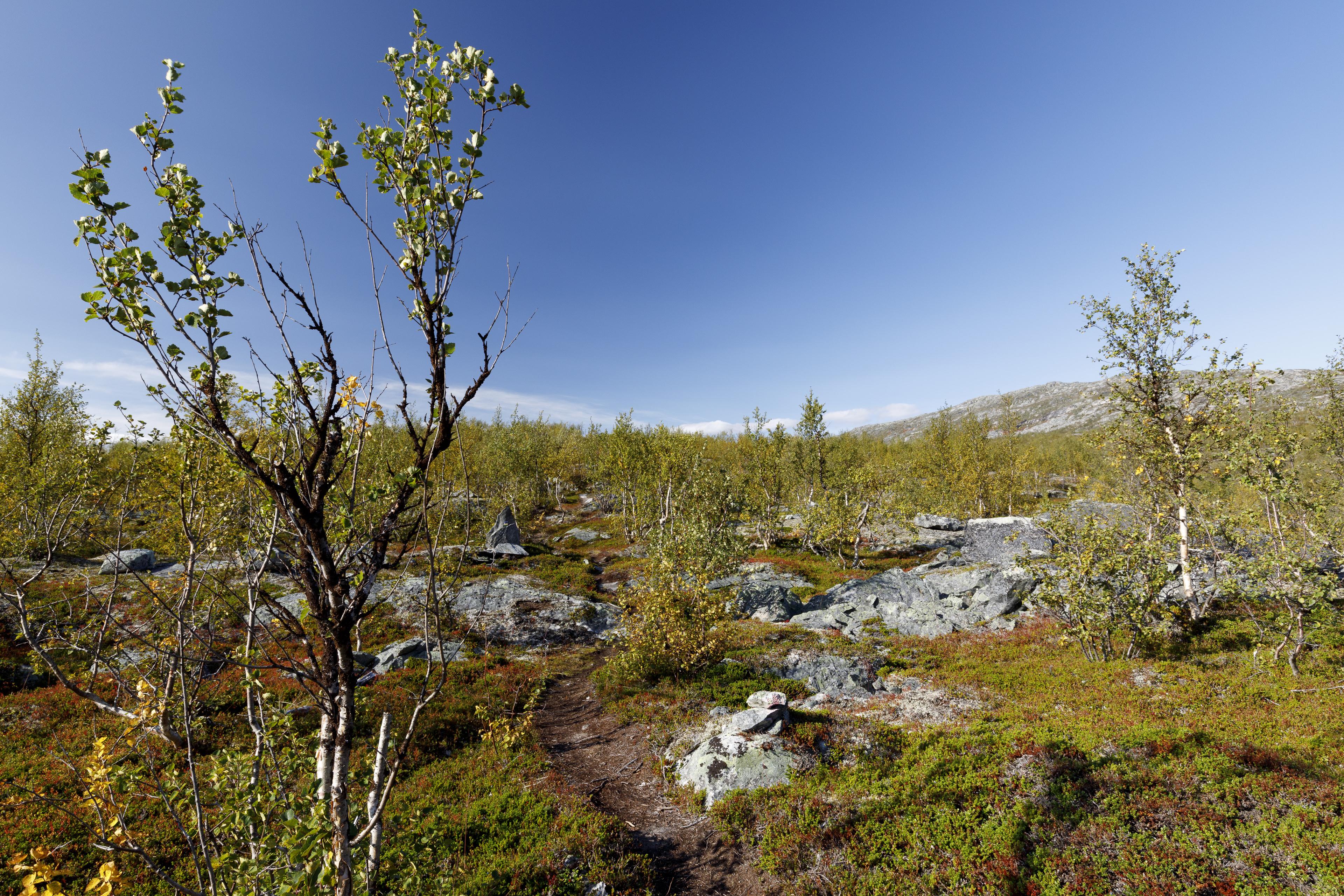 Lichter BIrkenwald oberhalb von Ritsem,©Markus Proske—Canon EOS 5D Mark IV, EF16-35mm f/4L IS USM, 20mm, 1/80s, Blende 11, ISO 250
