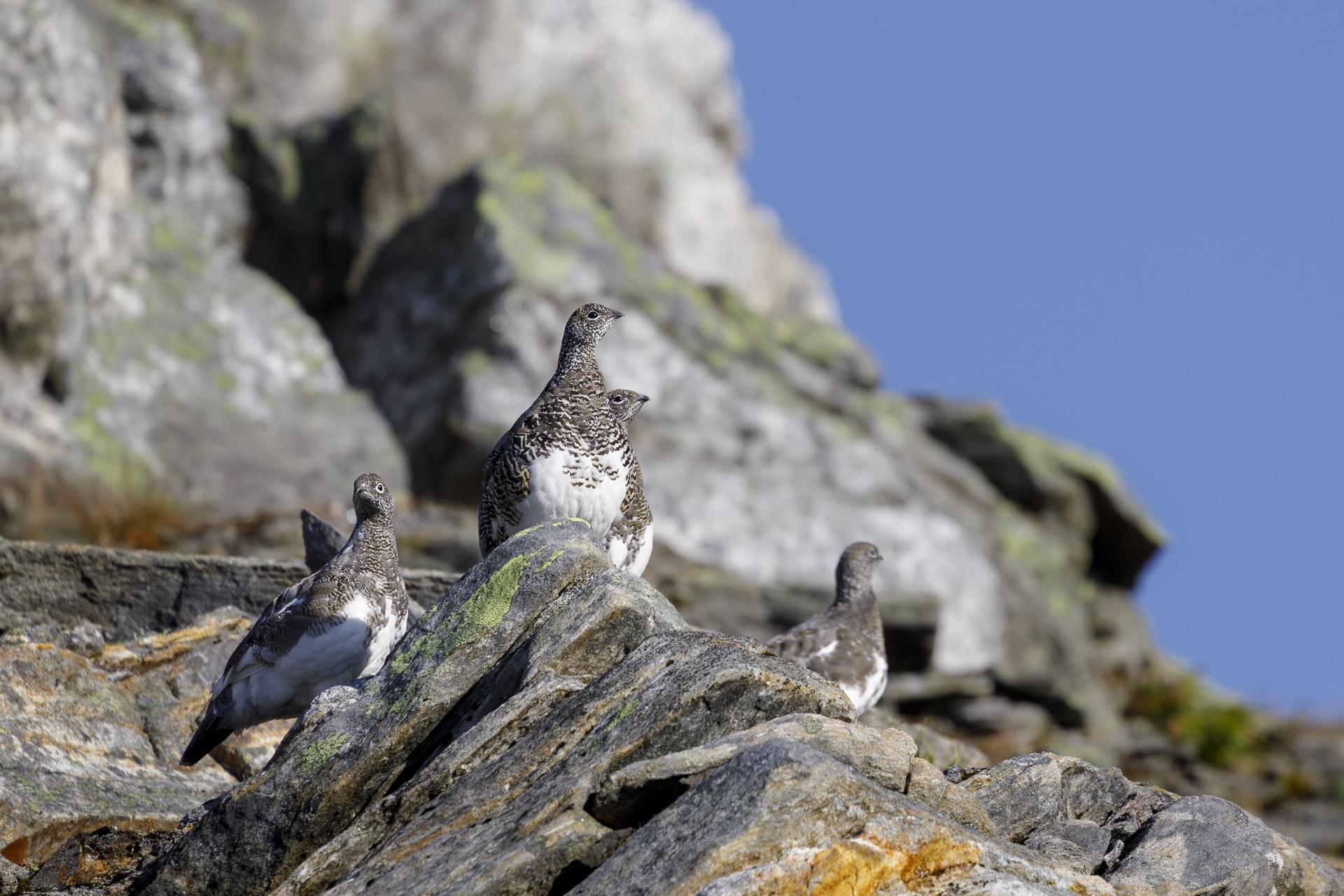 Alpenschneehühner (Lagopus muta)